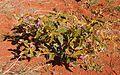 Solanum centrale habit.jpg