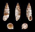 Solatopupa similis 01.JPG
