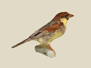 Somali sparrow - Specimen at Nairobi National Museum in Kenya