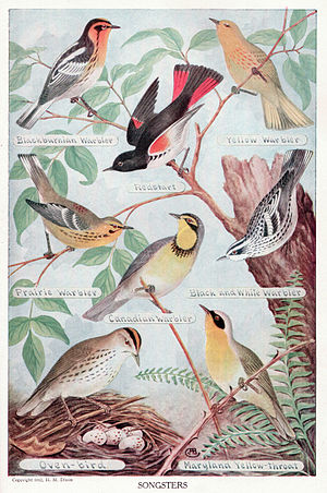 This copyright free image of song birds is bet...
