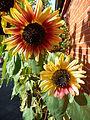 Sonnenblumen im Oktober.JPG
