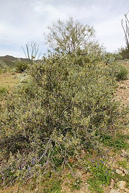Sonoran Desert, Jojoba, Simmodsia chinensis, Male Shrib - panoramio.jpg
