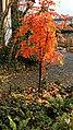 Sorbus Herbstlaub 10.jpg