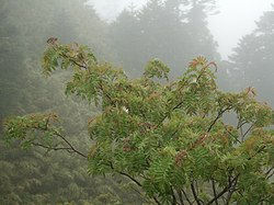 Sorbus randaiensis.jpg