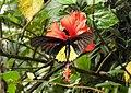 Southern Birdwing by Dr. Raju Kasambe DSCN7505 (12).jpg