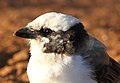 Southern White-crowned Shrike, Eurocephalus anguitimens, gleaning ants from the early morning soil at Marakele National Park, South Africa (13952465147).jpg