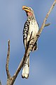 Southern Yellow-billed Hornbill, Tockus leucomelas, at Marakele National Park, Limpopo, South Africa (32852311258).jpg