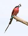 Southern carmine bee-eater, Merops nubicoides, Savuti marsh, Chobe National Park, Botswana (32421991136).jpg