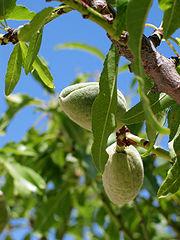 Spain Calpe Penyon Almonds green.jpg