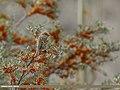 Spanish Sparrow (Passer hispaniolensis) (33287430213).jpg