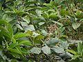 Spatholobus parviflorus (6424437091).jpg