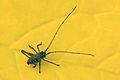 Speckled bush cricket (Leptophyes punctatissima) nymph.jpg