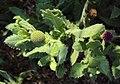 Sphaeranthus indicus 03.JPG