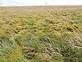 Sphagnum Moss heads, Eaglesham Moor, East Renfrewshire.jpg