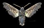 Sphecodina abbottii MHNT CUT 2010 0 154 West Feliciana Parish Louisiana Male ventral.jpg