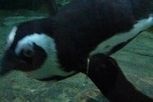 File:Spheniscus demersus 2010.ogv