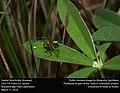 Spider (Arachnida, Araneae) (25591602712).jpg