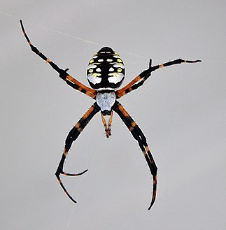 Female. Underside. Male. Yellow Garden Spider ...