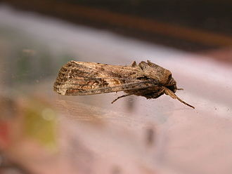 Fall armyworm - Image: Spodoptera frugiperda 1