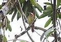 Spot-breasted Woodpecker (Colaptes punctigula) (9499727874).jpg