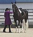 Spotted Saddle Horse7.jpg