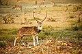 Spotted deer Male.jpg