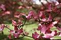 Spring-dowgwood-tree - West Virginia - ForestWander.jpg