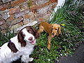 Springer and Cocker Spaniels.jpg