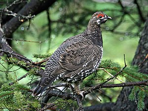 Spruce grouse - Image: Spruce Grouse (Falcipennis canadenis) RWD
