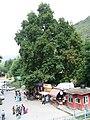 Srinagar - Nishat Mughal Gardens 09.JPG