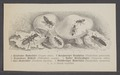 Staphylinini - Print - Iconographia Zoologica - Special Collections University of Amsterdam - UBAINV0274 014 14 0003.tif