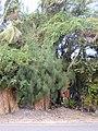 Starr-010424-0029-Coccinia grandis-habit-Maui Meadows Kihei-Maui (24236683610).jpg