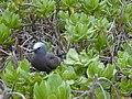 Starr-010520-0026-Scaevola taccada-habit with noddy-inland-Kure Atoll (24164951099).jpg