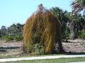 Starr-031108-0293-Cassytha filiformis-draping habit-Caspersen Beach-Florida (24674785315).jpg