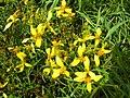 Starr-050407-6241-Bidens menziesii-flowers-Maui Nui Botanical Garden-Maui (24718775396).jpg