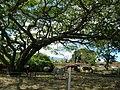 Starr-060820-8605-Cenchrus purpureus-habit and horses grazing-Makawao-Maui (24237472453).jpg