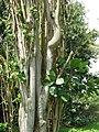 Starr-070321-5943-Clusia rosea-growing epiphytically in Erythrina variegata-Hana-Maui (24258545093).jpg