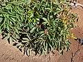 Starr-070404-6508-Lophostemon confertus-leaves-Koele-Lanai (24519145979).jpg