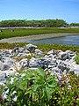 Starr-080603-9138-Solanum americanum-habit with pond and Laysan albatross-Spit Island-Midway Atoll (24912873445).jpg