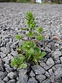 Starr-090401-5503-Veronica arvensis-habit-Olinda-Maui (24655439940).jpg