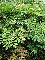 Starr-090430-6616-Wisteria floribunda-leaves-Kula-Maui (24926730236).jpg