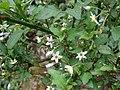 Starr-090521-8318-Solanum americanum-leaves flowers and fruit-Polipoli-Maui (24838304602).jpg
