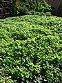 Starr-090602-8791-Mentha spicata-in garden-Bale Restaurant Wailuku-Maui (38766942212).jpg