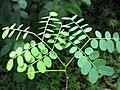 Starr-090623-1477-Adenanthera pavonina-seedling-Nahiku-Maui (24336035164).jpg