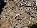Starr-090628-1933-Bromus diandrus-seedhead-Science City-Maui (24849626122).jpg