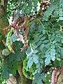 Starr-091104-8793-Adenanthera pavonina-seedpods and leaves-Kahanu Gardens NTBG Kaeleku Hana-Maui (24894773331).jpg