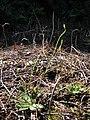 Starr-091217-1692-Hypochoeris radicata-flowering habit-TR6 Bottom LZ Kopiliula East Maui-Maui (24361826854).jpg