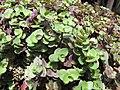 Starr-100623-7777-Callisia repens-potted plants in shade house-Pukalani Plant Company Pulehu-Maui (24411688294).jpg