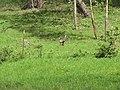 Starr-101005-9187-Triumfetta semitriloba-habitat with wild turkeys-Ulupalakua-Maui (24423818934).jpg