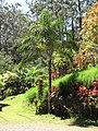 Starr-110330-4172-Dypsis madagascariensis-habit-Garden of Eden Keanae-Maui (24963191872).jpg